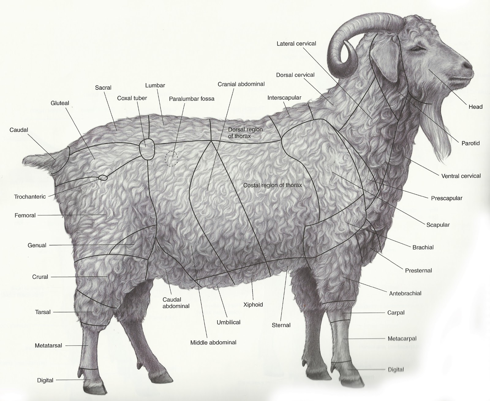 external anatomy of farm animals