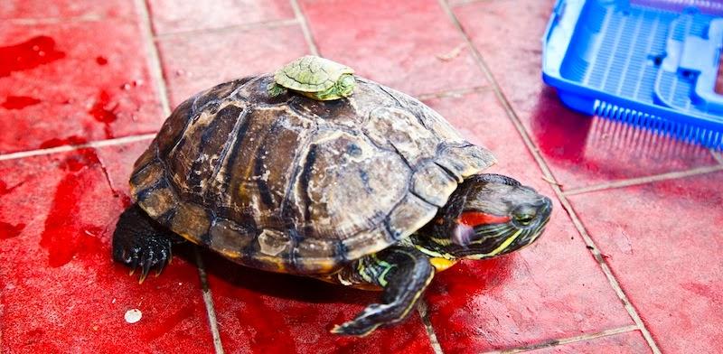A r f associazione recupero fauna a 10 13 roma for Laghetti tartarughe acquatiche