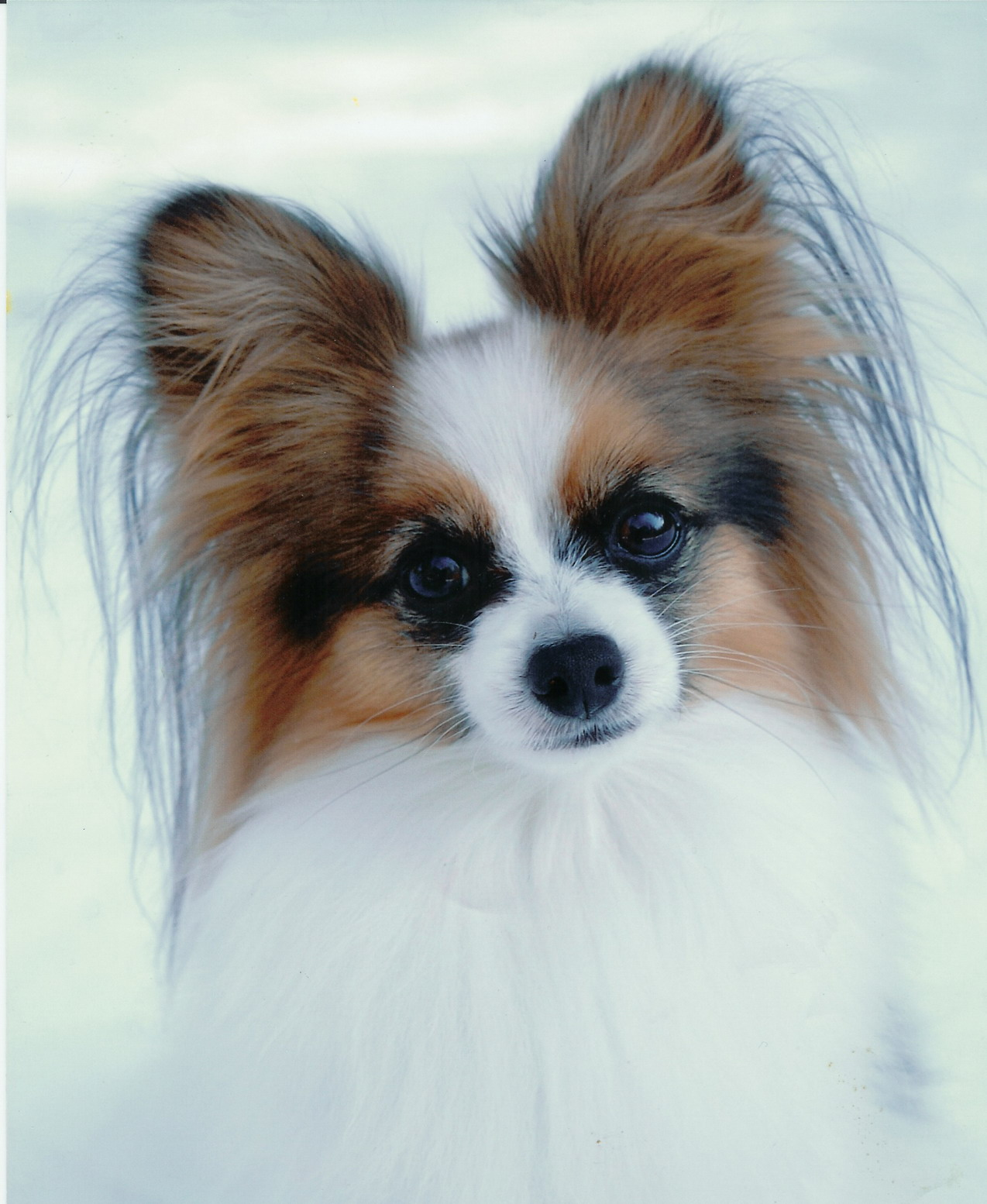 Pictures Of Black Papillon Dogs