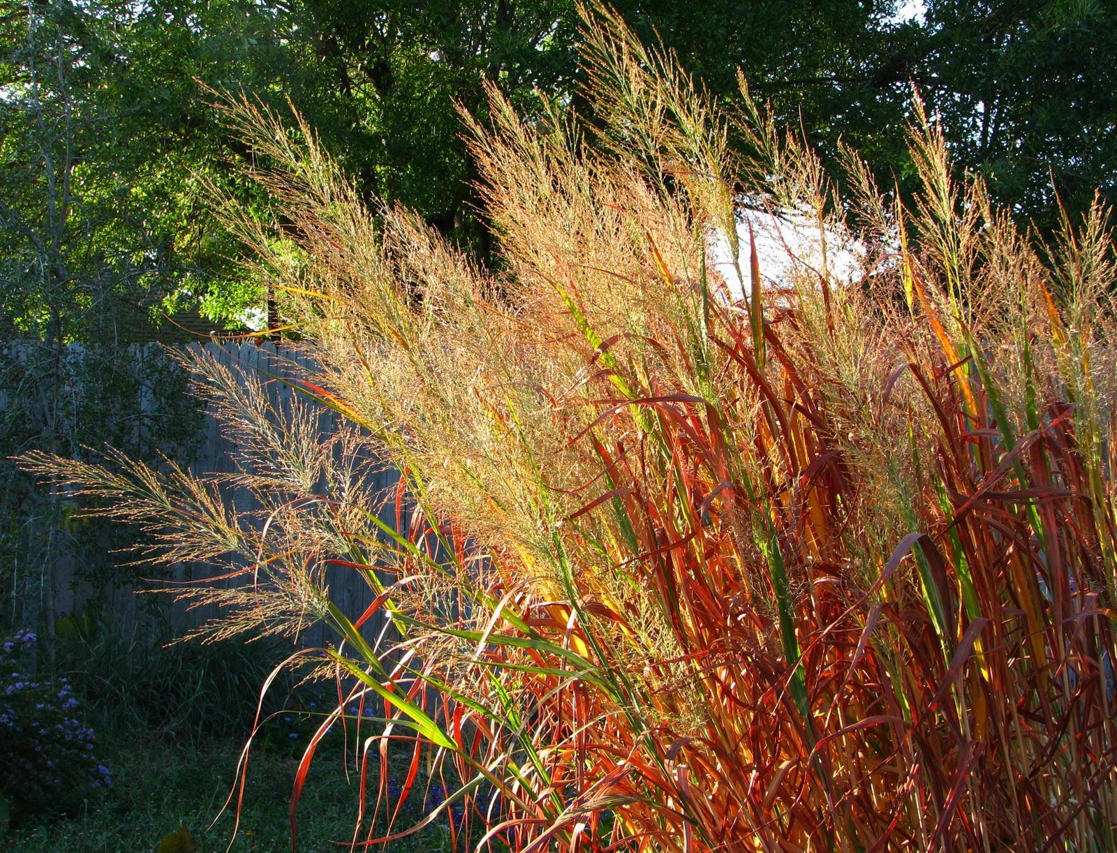 Plano prairie garden fall colors grasses for Colorful decorative grasses