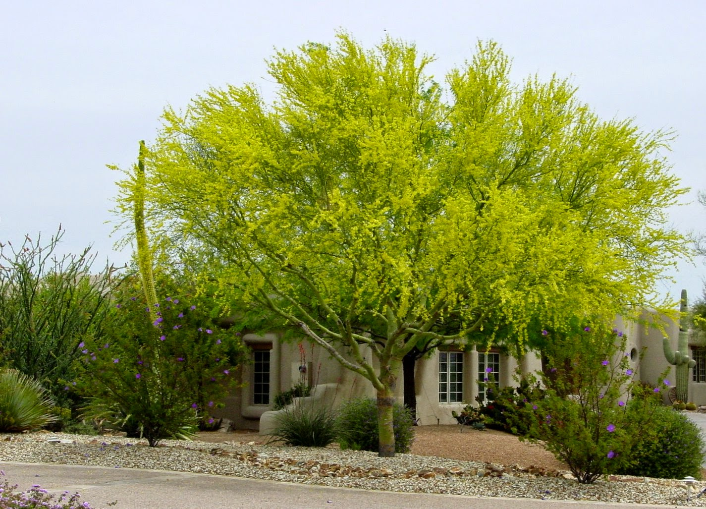 Landscaping With Palo Verde Trees : From a desert garden blue palo verde decorates the landscape