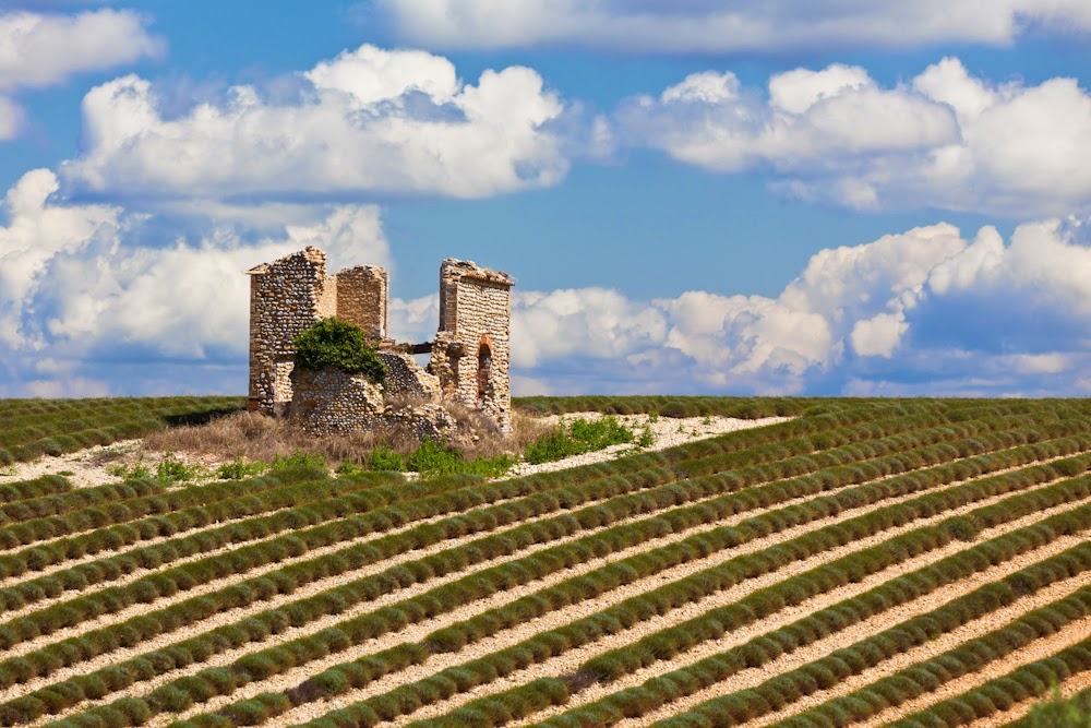 Поле снятой лаванды в Провансе, Франция. Lavender field, Provence, France