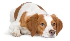 artrite em cães