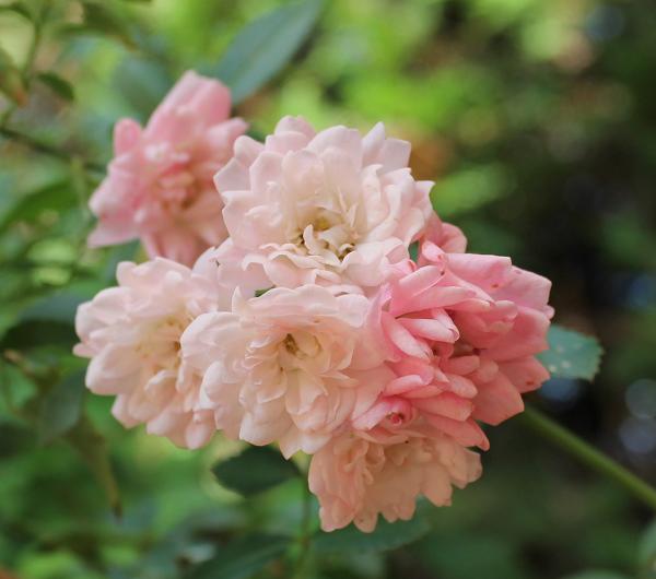 rosas The Fairy