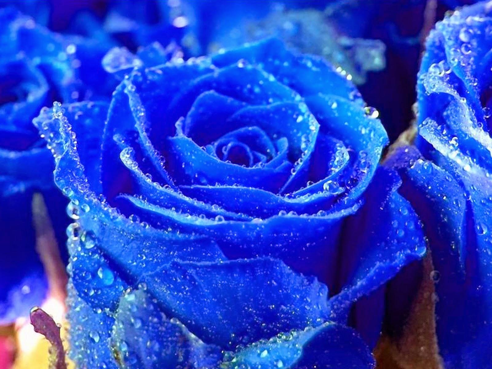 free hit 4u wallpapers: osam blue rose hd wallpaper