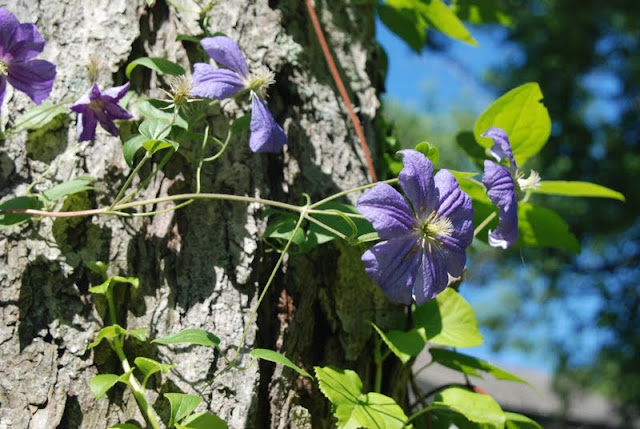 Clematis 'Perle d'Azur', which is climbing one of the maple trees on the Shade Path, has just finished its first season of bloom at Gilmore Gardens.