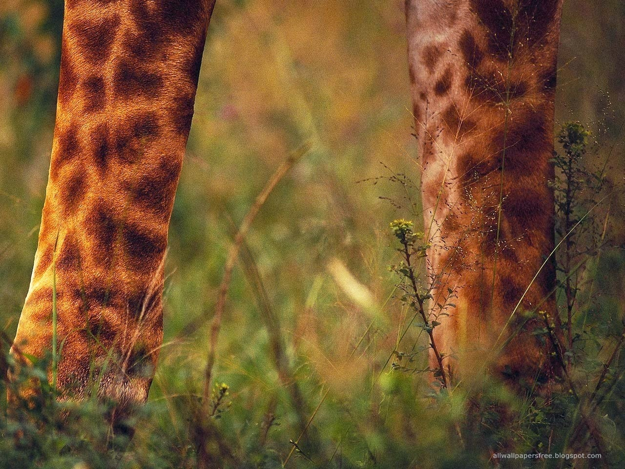 picture of giraffes legs