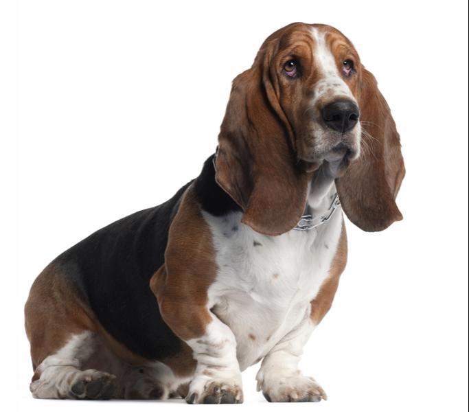 Love bassett hound lick want