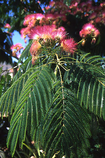 Mimosa or silk tree blossoms and leaves