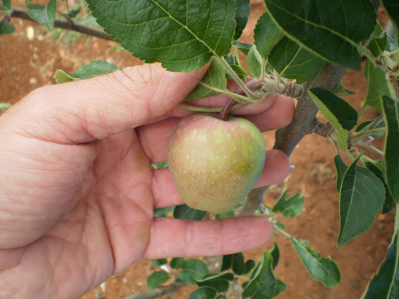 Manzana fuji.