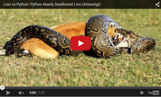... AN LION: Lion vs Python: Python Nearly Swallowed Lion Amazing