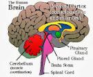 Beyindeki Gizem: Epifiz Bezi