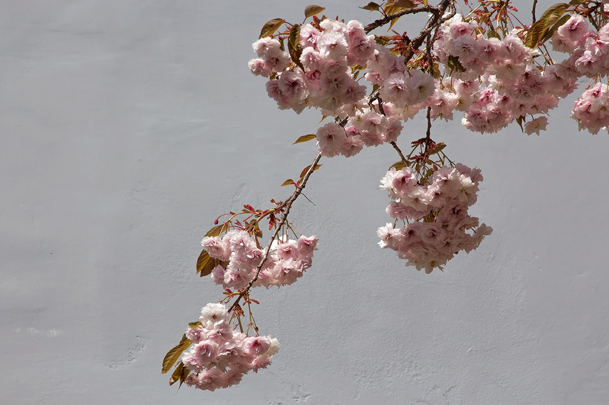 pink cherry blossoms against white wall