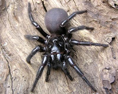 foto: funnel spider australia