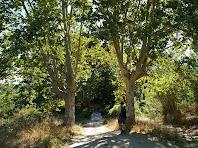 Els dos grans plataners que fan de portal al paratge de la Font de Bellveí