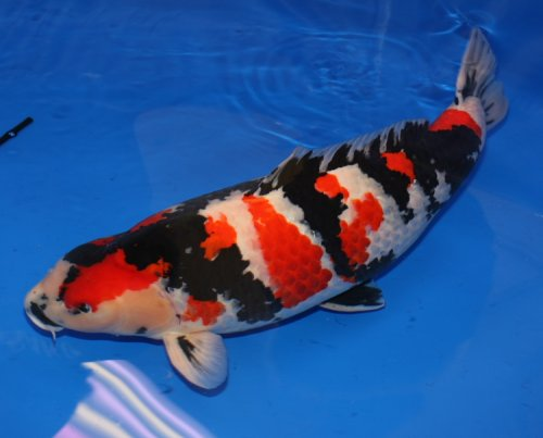 Koi fish disease that often attacks the koi fish for Real blue koi fish