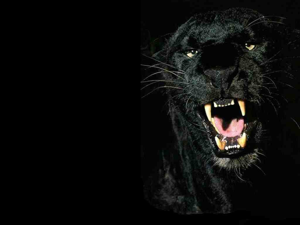 http://2.bp.blogspot.com/-y6fQYrnLD6s/TwH5IXMhSmI/AAAAAAAABjY/j6tkW4QNMdw/s1600/Black-Panther-1-ISRD4GB3RA-1024x768.jpg