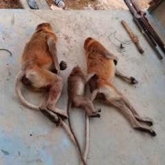 Kasus perburuan Bekantan