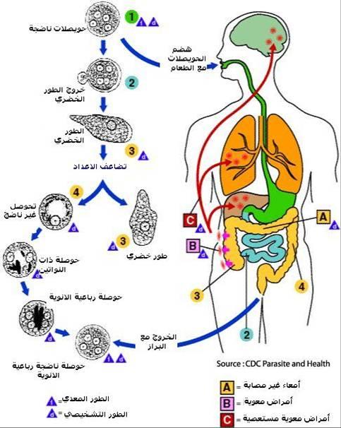 مجموعه محاضرات علم الطفيليات باللغه العربيه