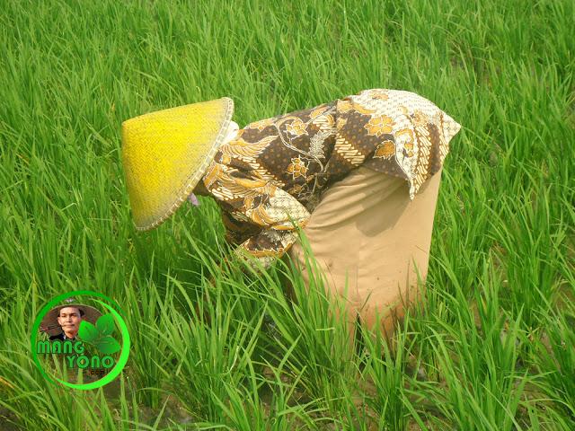 Tradisi ngarambet dalam pertanian Indonesia