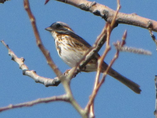 song sparrow