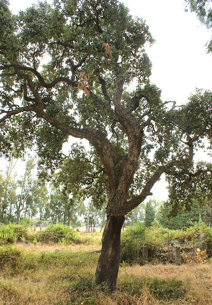 Hortus italicus quercus suber l 1753 for Quercia sempreverde