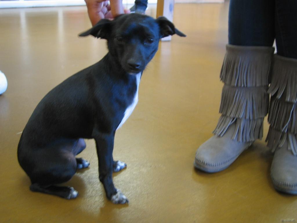 Italian Greyhound Chihuahua Mix