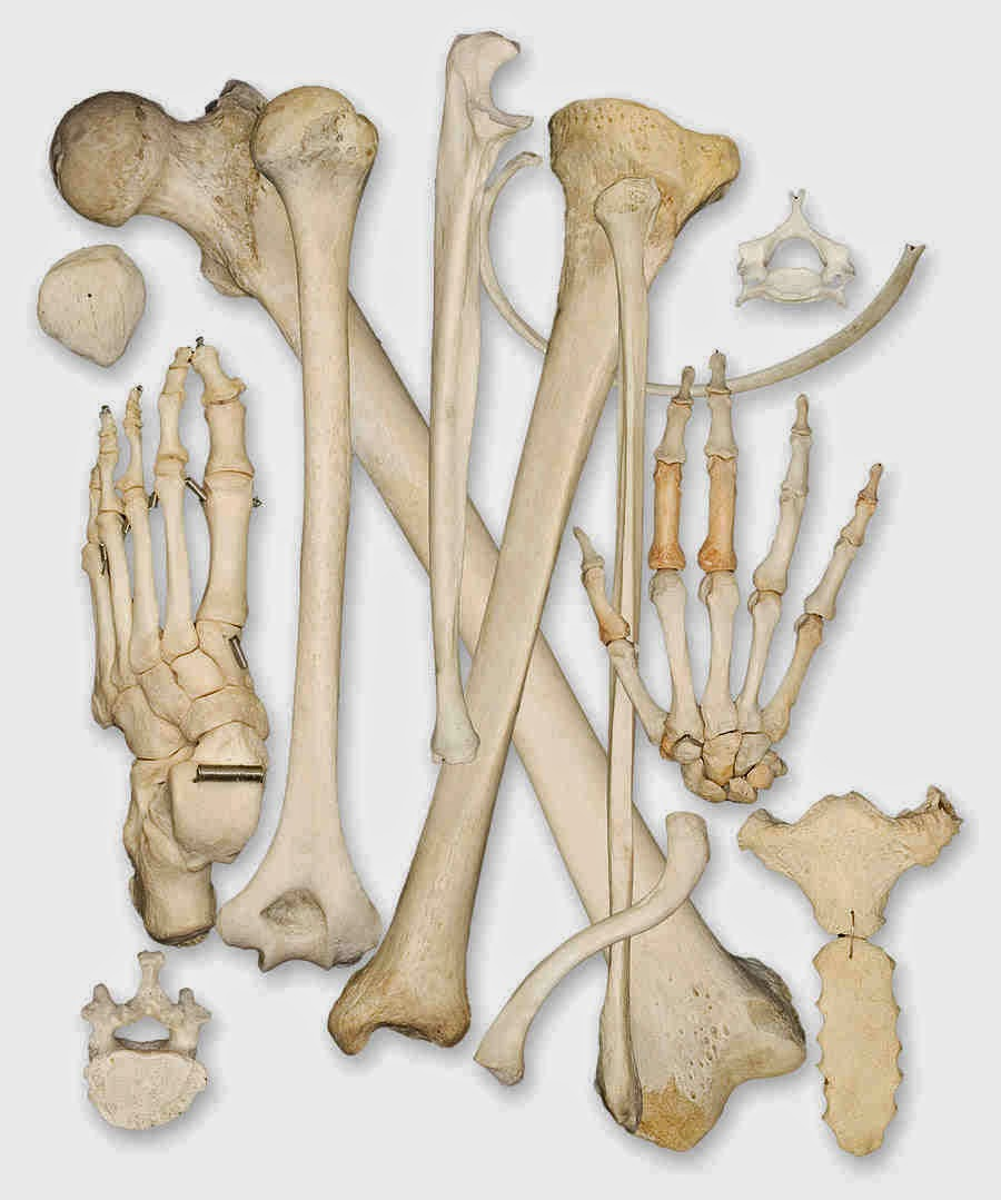 The human bones