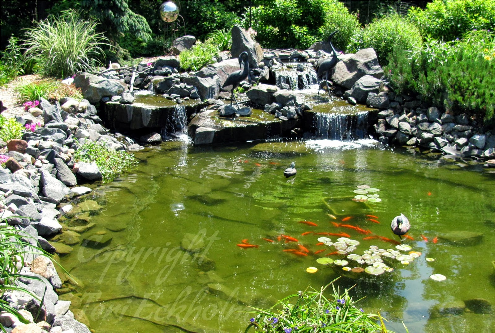 Koi can survive a minnesota winter in the backyard pond for Garden ponds for sale