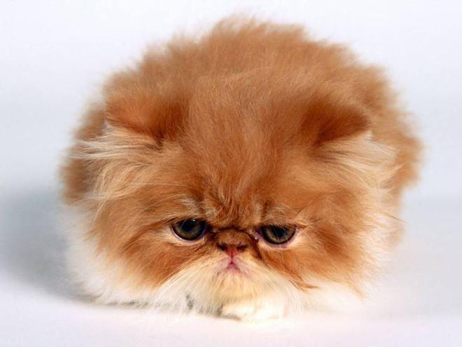 Gambar Kucing Persia lagi sebel