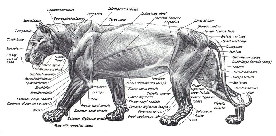 Asombroso Anatomía Del León De Mar Componente - Anatomía de Las ...