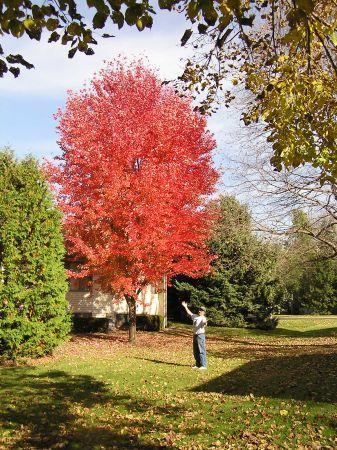 Autumn Blaze Maple Tree5