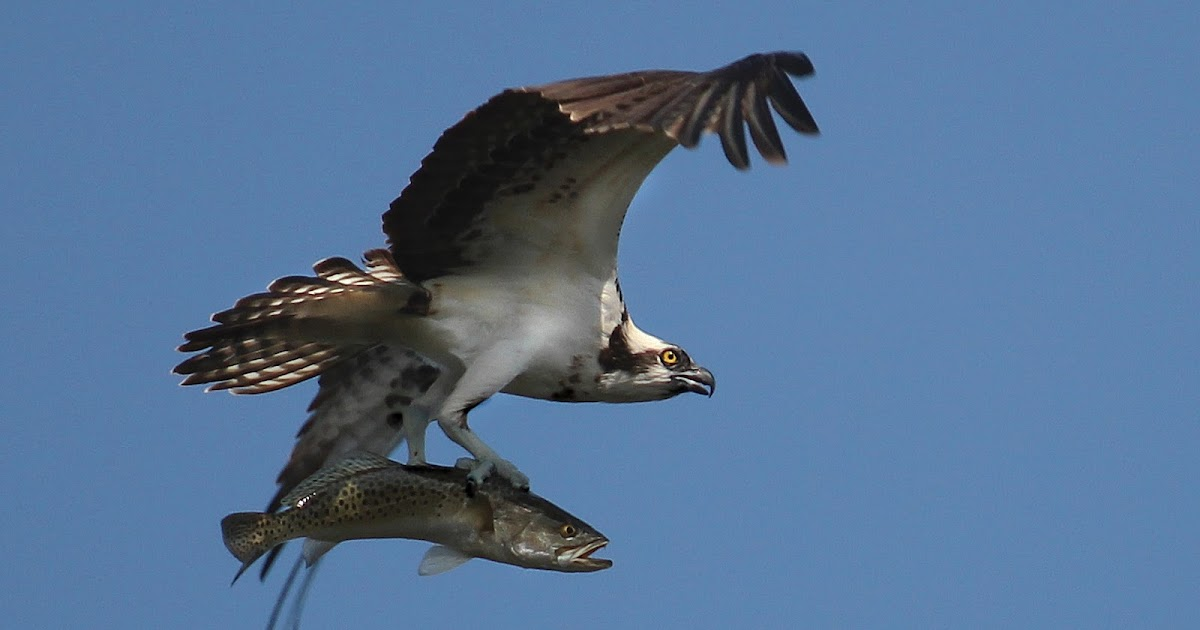 A dc birding blog loose feathers 362 for H and m fish count