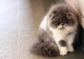 Gambar Kucing Persia Lucu 10009