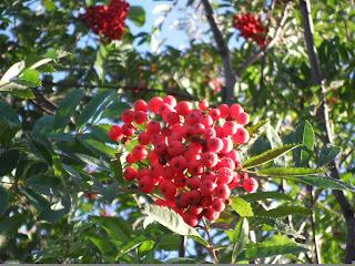 Спелая гроздь рябины