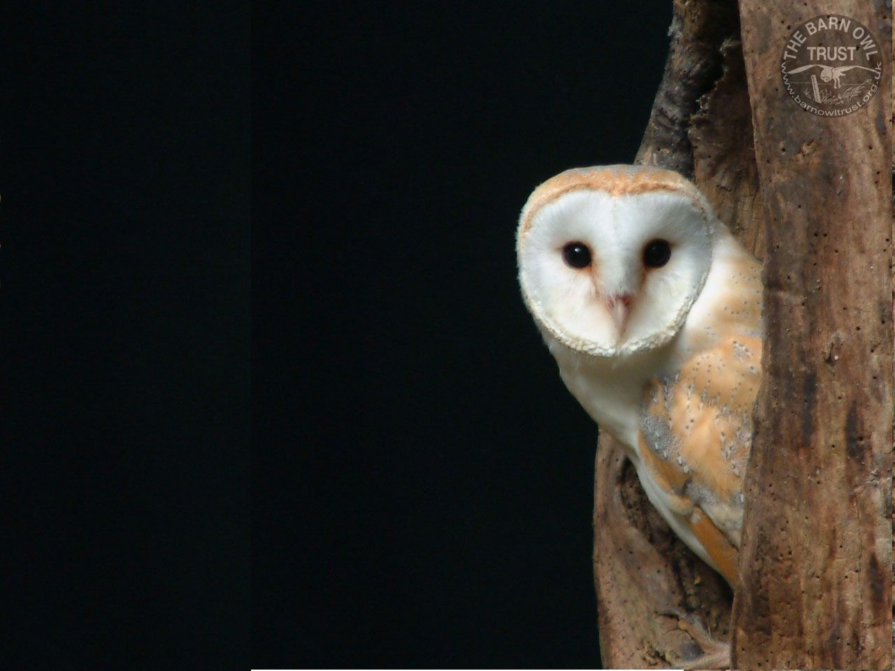 Barn Owl Barn Owls Most Commonly Hunt Small Mammals Such As Mice Voles And Rats But Barn Owls Also Hunt Fish Close To The Surface Of The Water And Smaller Birds In Dangerous Of Wild Animals Bloggercom Dangerous Of Wild Animals Barn Owl