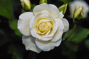 #5 Wonderful Flowers Rose Wallpaper