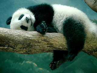 sleeping baby panda picture