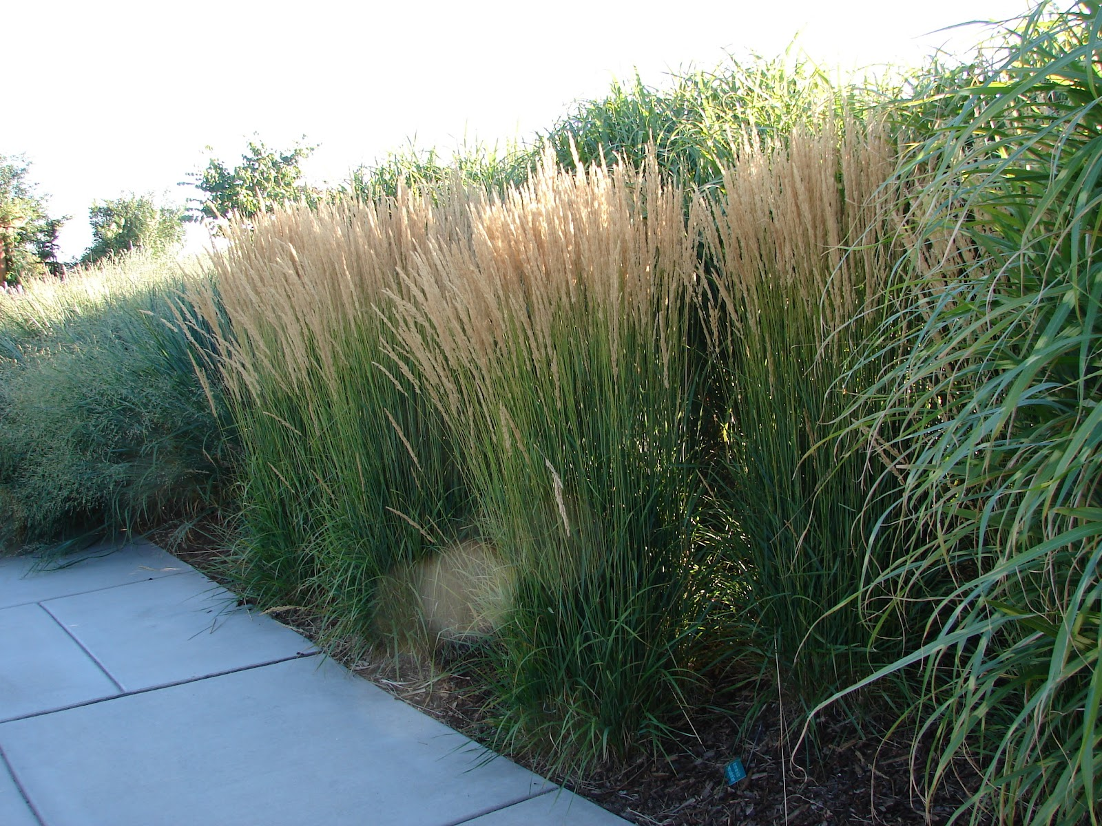 New utah gardener karl foerster grass a fall favorite for Tall ornamental grasses for screening