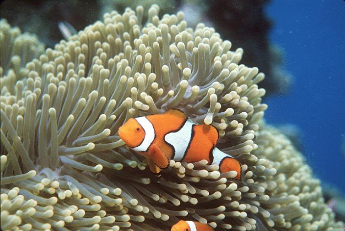 Wild life creatures sea anemones for Clown fish facts