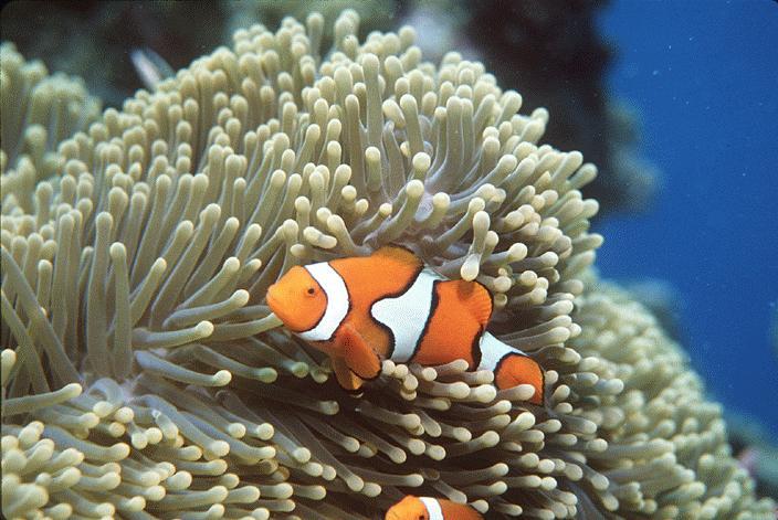 Wild life creatures sea anemones for Clown fish adaptations