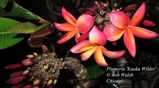 Plumeria 'Kauka Wilder' flowering indoors in Chicago - January 2013.