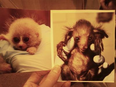 Baby aye aye lemur - photo#16
