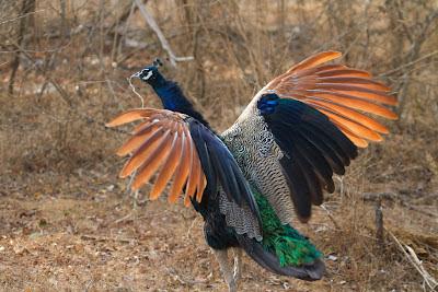 A photograph of a Peacock taken in Yala, Sri Lanka