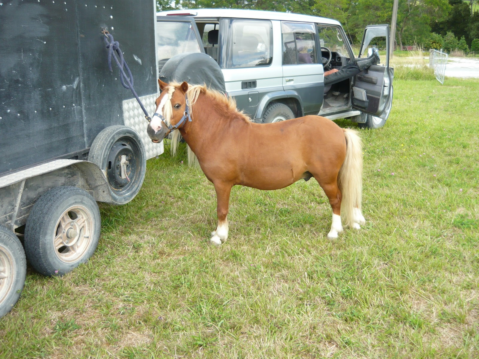images miniature horse breeding woman miniature horse breeding woman