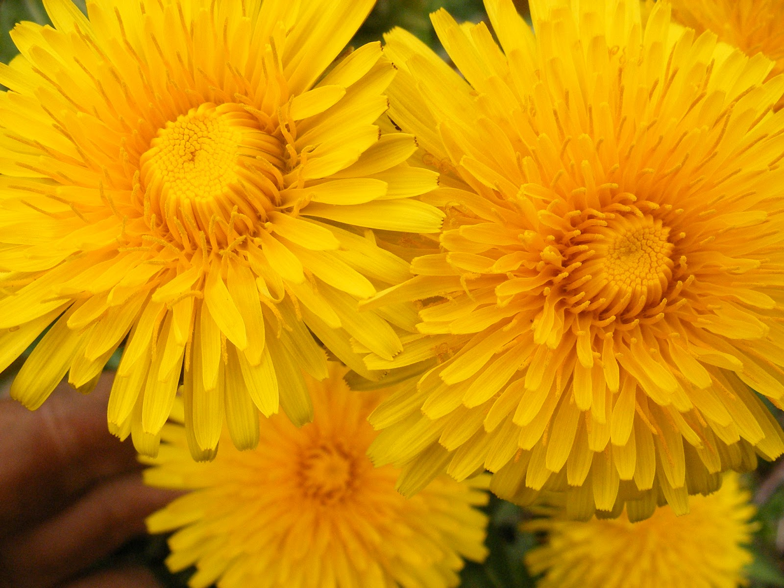 herbal revolution: making and using dandelion oil