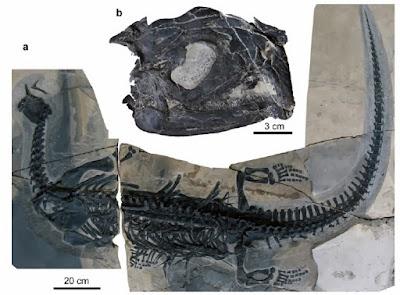 Atopodentatus fossil