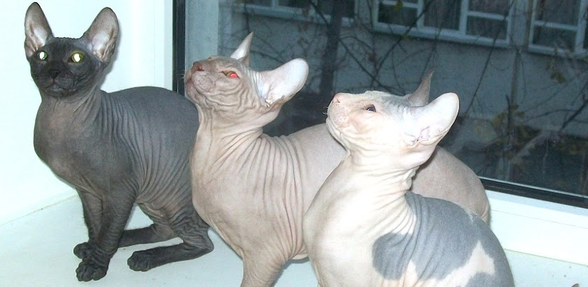 Unverified Color Mutation in Donskoy Cats