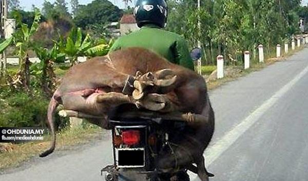 Polis Daerah Kulim Tahan Lelaki Disyaki Aktif Mencuri Lembu