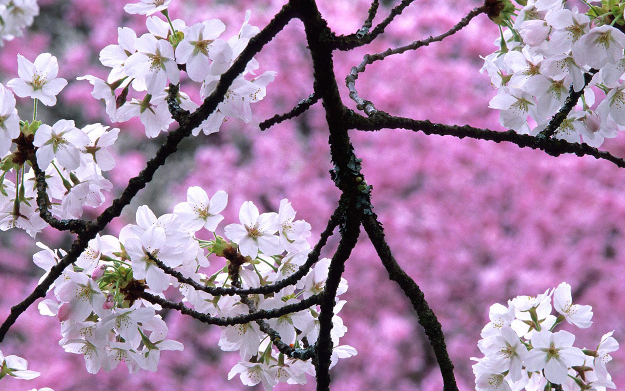 Cherry Blossoms: cherry blossom pictures